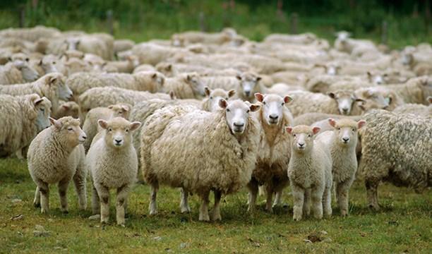 Köyüne dönene 300 koyun+maaş