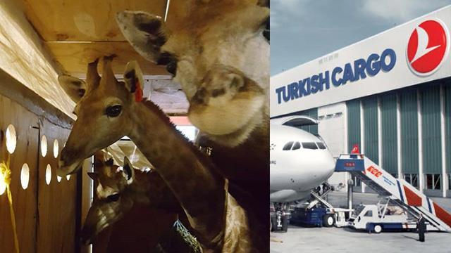 Turkish Cargo'da her canlıya yer var