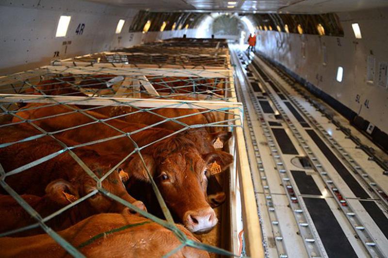 Türkiye'den taşımacılıkta hayvanların korunması adımı