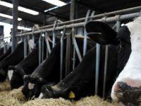 Türkiye İrlanda'dan 40 bin sığır ithal edecek
