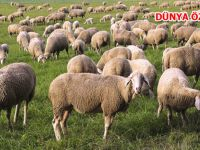 İşte '300 koyun ve asgari ücret' gerçeği